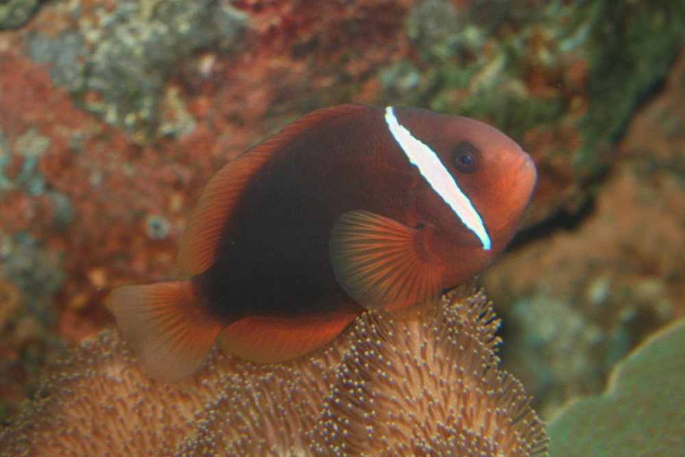 1200px-Tomato_clownfish_Amphiprion_frenatus.jpg
